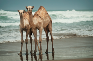 unexpected camels